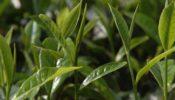 বাজেটের প্রভাবে চায়ের দাম বেড়েছে কেজিপ্রতি ১৬ টাকা