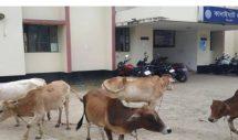 ভারতীয় গরু আটক করে বিপাকে কানাইঘাট থানা পুলিশ